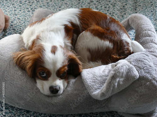 Fotografering High Angle View Of Cavalier King Charles Spaniel Dog Resting On A Stuffed Animal