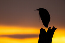 Portrait Of Coastal Great Blue Heron Silhouetted On Tree Trunk At Sunset Or Sunrise With Golden Yellow Sky Background