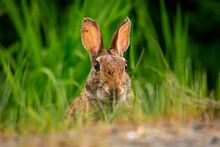 Cute Portrait Of A Bunny Rabbit In A Field Of Grass Looking At Camera With Ears Up