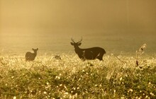 Young Male Hog Deer Standing With Female In A Golden Field In The Morning