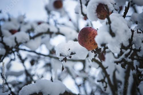 Fotografiet An apple on a tree in captivity in the snow