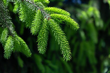 Young Shoots Of Spruce.