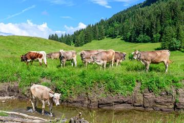 Kuhherde auf einer Weide in einem Allgäuer Hochtal