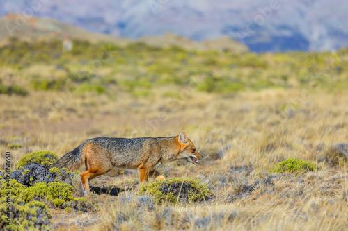 Fototapeta premium Fox in Patagonia