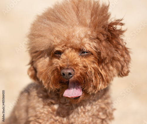 Fototapeta fluffy purebred dog for a walk obraz