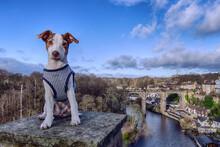 Jack Russell Terrier At Knaresborough Bridge