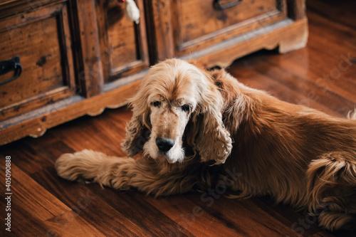 Fototapeta amabile cane seduto sul parquet