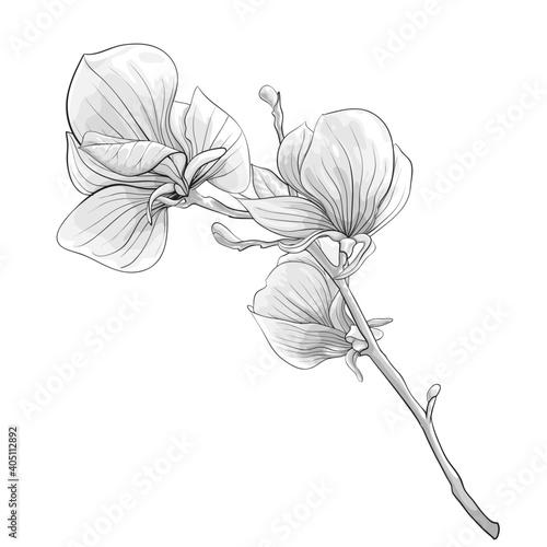 Fotografie, Obraz beautiful monochrome, black and white twig blossoming magnolia tree