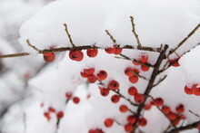 Cotoneaster Fruits Under Snow, Winter Background With Red Fruits And Snow