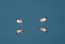 The Pied Avocet Is A Large Black And White Wader In The Avocet And Stilt Family, Recurvirostridae