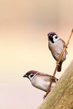 Ringmus, Eurasian Tree Sparrow, Passer Montanus