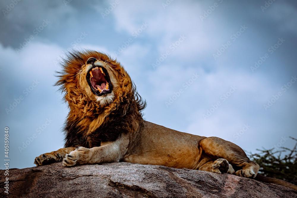 Fototapeta roaring male lion on rock