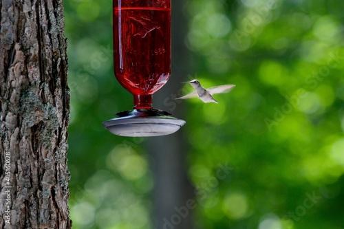 Fototapeta premium Humming Bird Mid Flight At Feeder