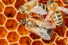 Big Drone Bees (male Honey Bee) And Bee Workers...............