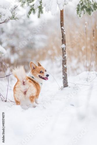 Fototapeta premium happy welsh corgi pembroke dog playing in the snow