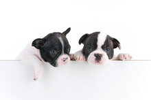 Closeup Shot Of Two Cute Boston Terriers Isolated On A White Background