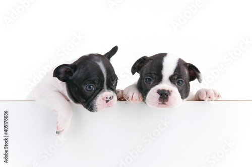 Billede på lærred Closeup shot of two cute Boston terriers isolated on a white background