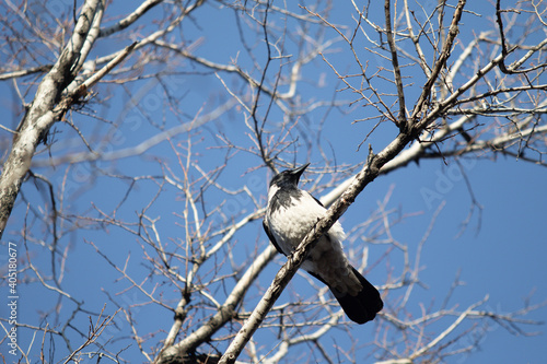 Fototapeta premium Bird crow sits on a branch against the blue sky.
