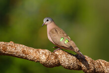 Emerald-Spotted Wood Dove Or Green-spotted Dove (Turtur Chalcospilos) Sitting On A Branch In Zimanga  Game Reserve In Kwa Zulu Natal  In South Africa