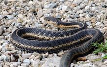 A Large Black Rat Snake Slithers Along The Gravel Near A Lake