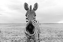 Zebra Black And White Portrait. Unique Wild Animal Looking To The Camera. Curious Animal Communicating. Big Nose Funny Looking Cute Zebra Shallow Depth Of Field Eyes In Focus.  Dramatic Creative Photo