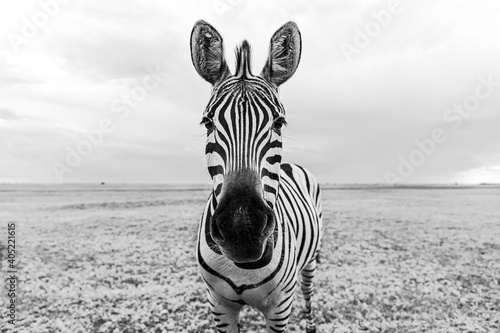 Fototapeta premium Zebra black and white portrait. Unique wild animal looking to the camera. curious animal communicating. big nose Funny looking cute zebra shallow depth of field eyes in focus. Dramatic creative photo