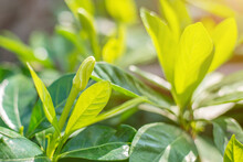 Closeup Image Of Fresh Green Leaves Growing In The Garden During The Rainy Season With Sunlight And Make You Feel Refreshed In The Morning.