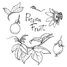 A Set Of Sketches Of Passion Fruit Branches And Fruits.