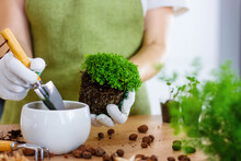 Woman Gardeners Transplanting Plant In Ceramic Pots On The Design Wooden Table. Concept Of Home Garden. Spring Time. Stylish Interior With A Lot Of Plants. Taking Care Of Home Plants. Template.