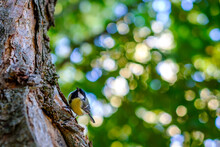 A Great Tit (Parus Major) In A Tree, A Passerine Bird In The Tit Family Paridae. It Is A Widespread And Common Species Throughout Europe.
