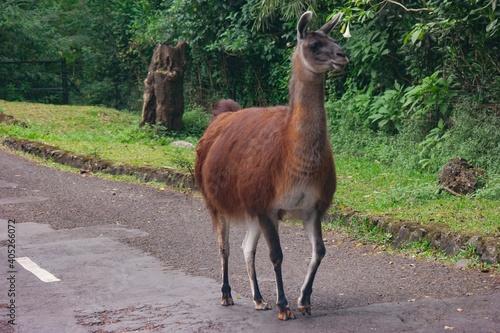 Fototapeta premium View Of A Lama Standing On Road