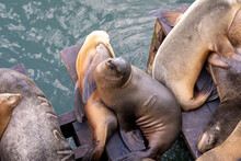 Group Of Sea Lions