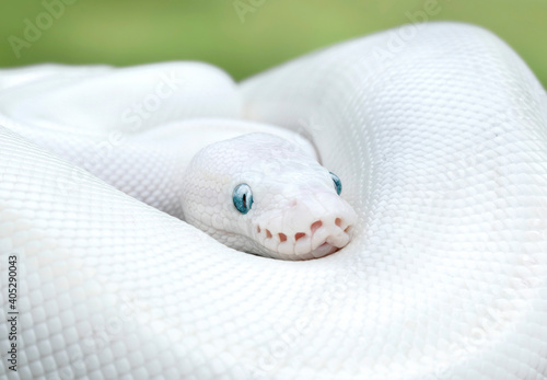 Obraz na plátně Leucistic Ball Python Snake