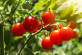 Tasty ripe tomatoes on bush outdoors, closeup