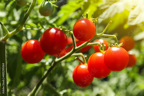 Photographie Tasty ripe tomatoes on bush outdoors, closeup