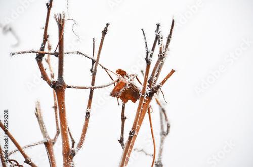 Canvas Print Vine In Winter