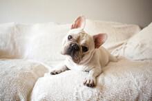 Portrait Of French Bulldog Lying Down On Sofa