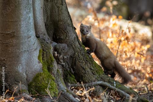 Pine marten, martes martes, climbing on tree in sunny autumn nature Fototapeta