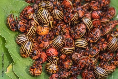 Fotografie, Obraz Potato bugs on foliage of potato in nature, natural background, close view