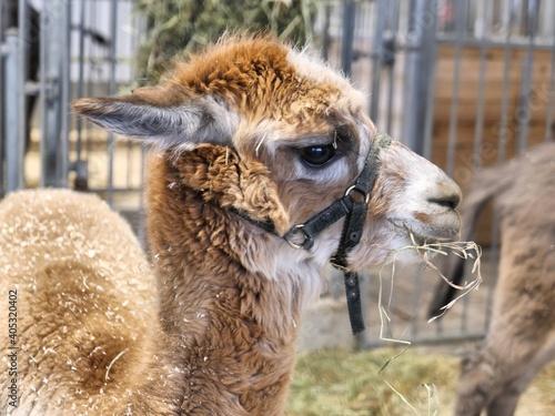 Fototapeta premium Close-up Of A Lama On Field Not Happy