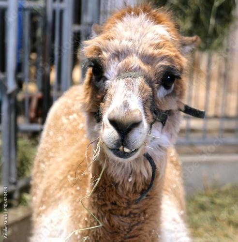 Fototapeta premium Close-up Portrait Of A Lama