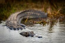Close Up Of Alligator Entering Water