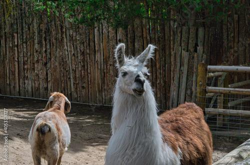 Fototapeta premium Beautiful view of a cute white alpaca in the zoo
