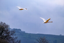 Low Angle View Of Swans Flying In Sky