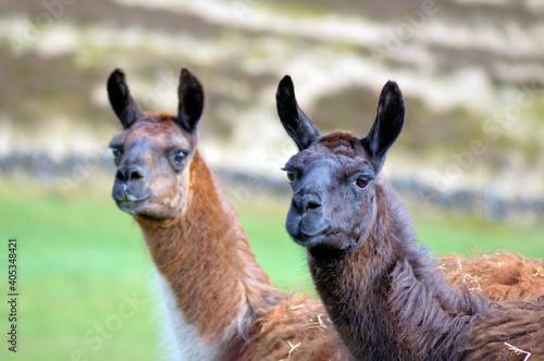 Fototapeta premium Close-up Of Two Llamas On Field