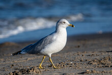 Ring-billed Gull Walking On The Beach