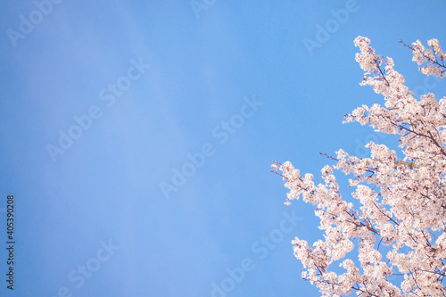 Obraz Low Angle View Of Cherry Blossom Against Clear Blue Sky - fototapety do salonu