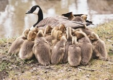 Country Goose And Goslings
