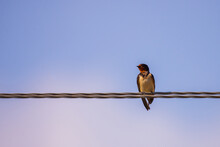 Barn Swallow Perched On A Wire, Against Blue Sky Background Close Up