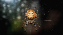 Closeup Shot Of A Garden Spider On Its We